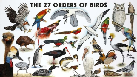 27 Orders of Birds