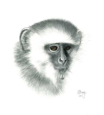 A.Vervet MonkeyD