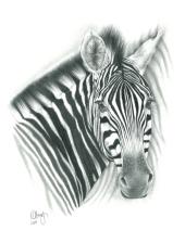 A.Zebra2D