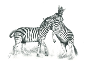 A.Zebras FightingD